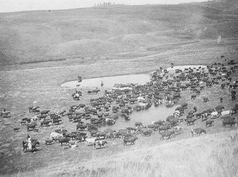 Moving cattle in 1896 near Black Butte,  in northern Sublette County.  May McAlister Sommers, in the white dress at bottom left, is helping move her family's cattle. Sommers family photo.