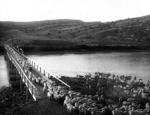 Sheep outnumbered cattle in Natrona County by 1903, when this band of 3,000 crossed the North Platte River near Alcova. Stimson Collection, Wyoming State Archives.