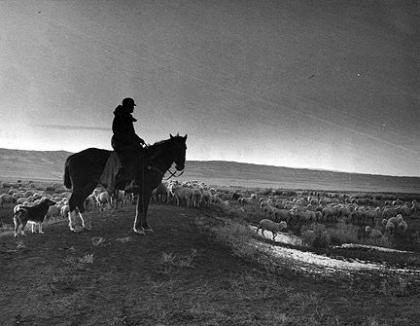 A sheepherder on the Burke Ranch north of Casper. Chuck Morrison Collection, Casper College Western History Center.