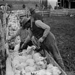Along with glamorous dudes, celebrities and scenic vistas, Belden recorded daily work on the ranch. Here, herders paint the Pitchfork brand on sheep. Buffalo Bill Center of the West.
