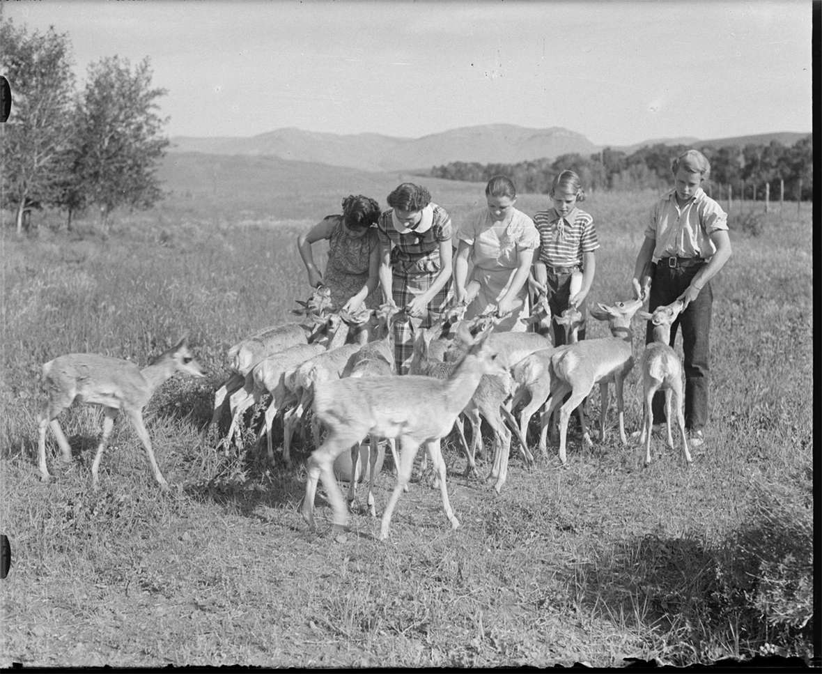 In the 1930s, Belden developed a passion for antelope conservation, capturing fawns shortly after birth, raising them as pets and selling them to zoos. Of the five girls helping with the feeding, tthe two on the right are probably his daughters Margot and Annice; the other three may be guests at the Pitchfork Ranch. American Heritage Center.