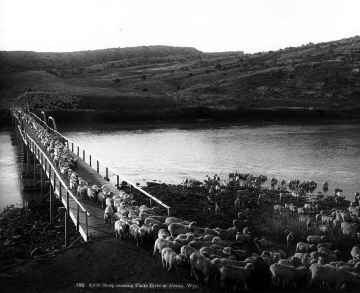 Three thousand sheep cross the North Platte River at Alcova, 1903. Most of Wyoming's wealth at the outbreak of the Great War was in sheep and cattle. Wyoming State Archives.