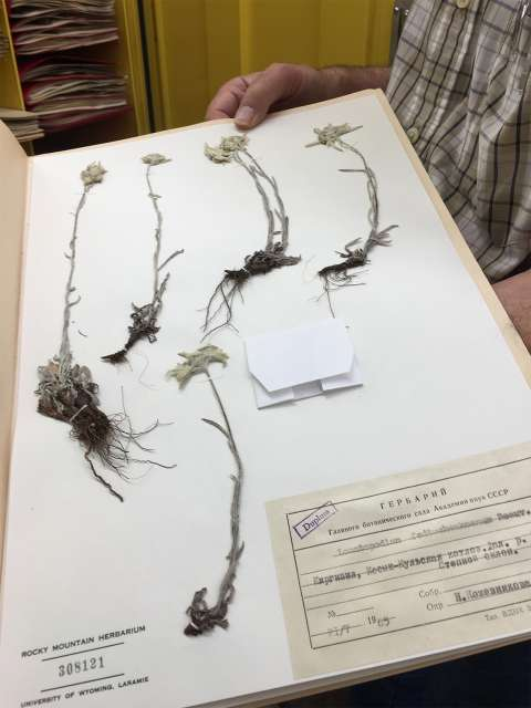 An herbarium is like an archive of plants. Here, Rocky Mountain Herbarium Curator Ernie Nelson (no relation to Aven) displays specimens of the genus Leontopodium, from Russia. Lori Van Pelt.